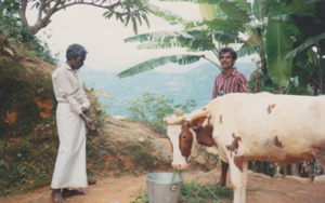 The first cow given by Kingscare in Sri Lanka