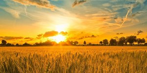 sun-and-wheat